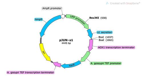 pJUN-s1 (precut)
