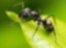 Disinfestazione formiche