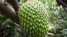 The Health Benefits Of Guanabana (Soursop)