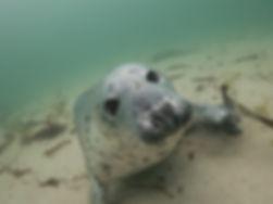 SSAC Farne Islads Seal