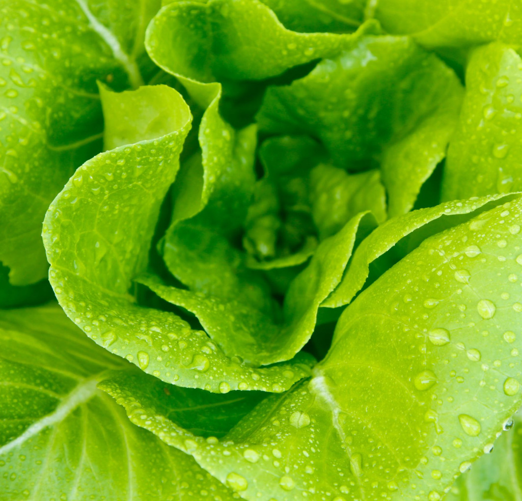 hydroponics-lettuce-leaves_edited