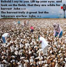 White field Harvest.jpg