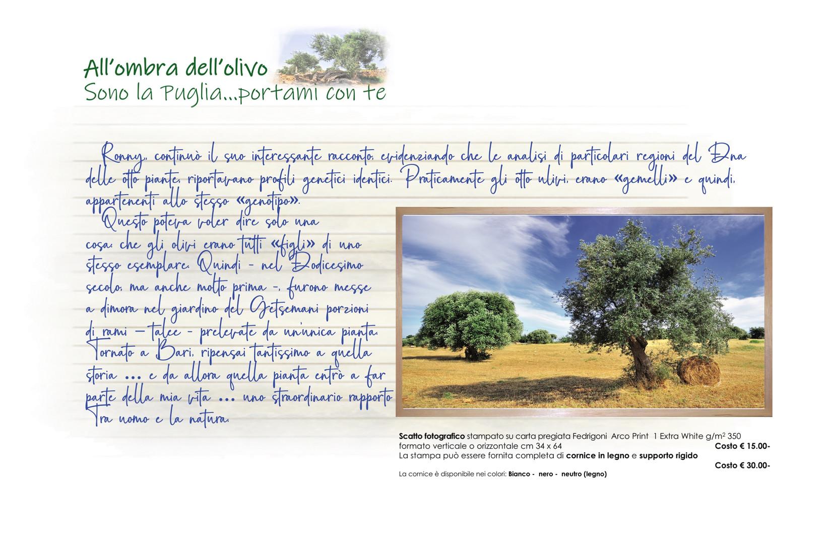 00006 All'ombra dell'olivo Talea muretto