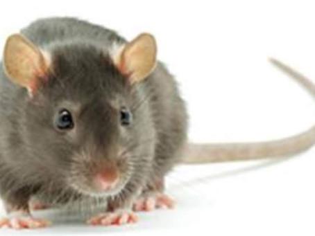 Power Animals – Rat