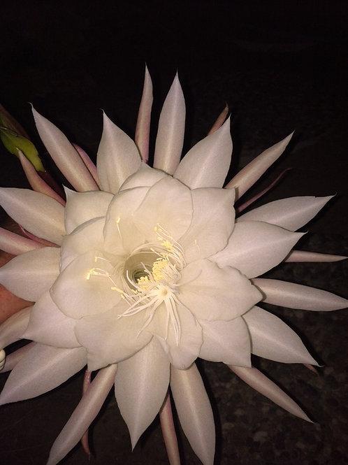 CHAKRA WHITE MASSAGE OIL by Sarasa Botanicals