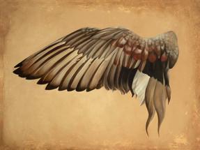 Wing of a Gadwall Duck
