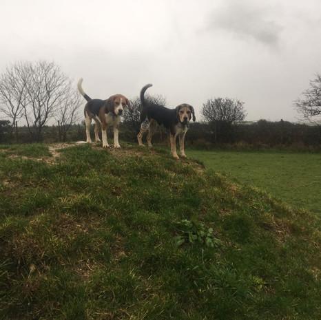 Beagles on a Hill .jpg