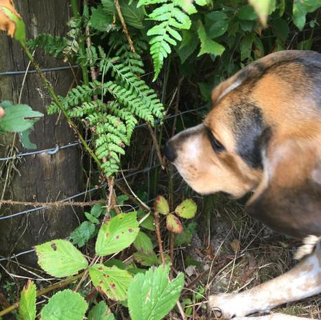 Dog in the Hedge .jpg