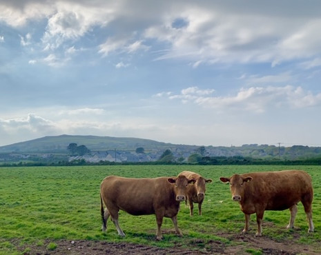 Cattle at Presingoll Farm.jpeg
