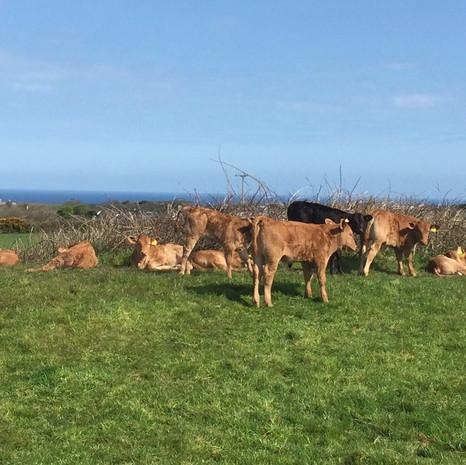 Devon Cattle at Presingoll Farm.JPG