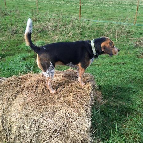 Beagle on a Bale .jpg