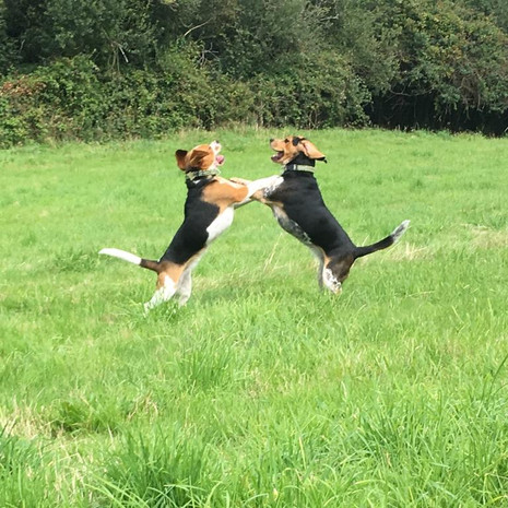 Dogs Playing in the Field .jpg