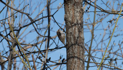 Grimpereau des arbres