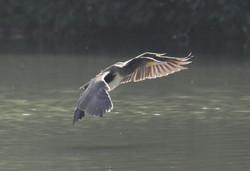 Cormoran en approche