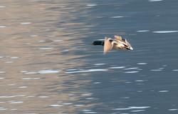 Canard colvert au lac de Côme
