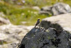traquet alpin