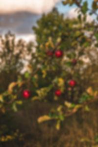 apples-blurred-background-branches-14446