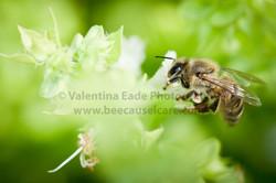 honeybee_040