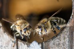 honeybee_013