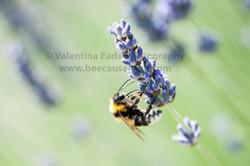 bumblebee_007