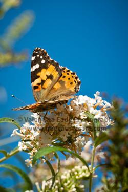 butterfly_016