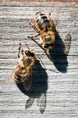 honeybee_014