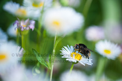 pollinatingfly_010