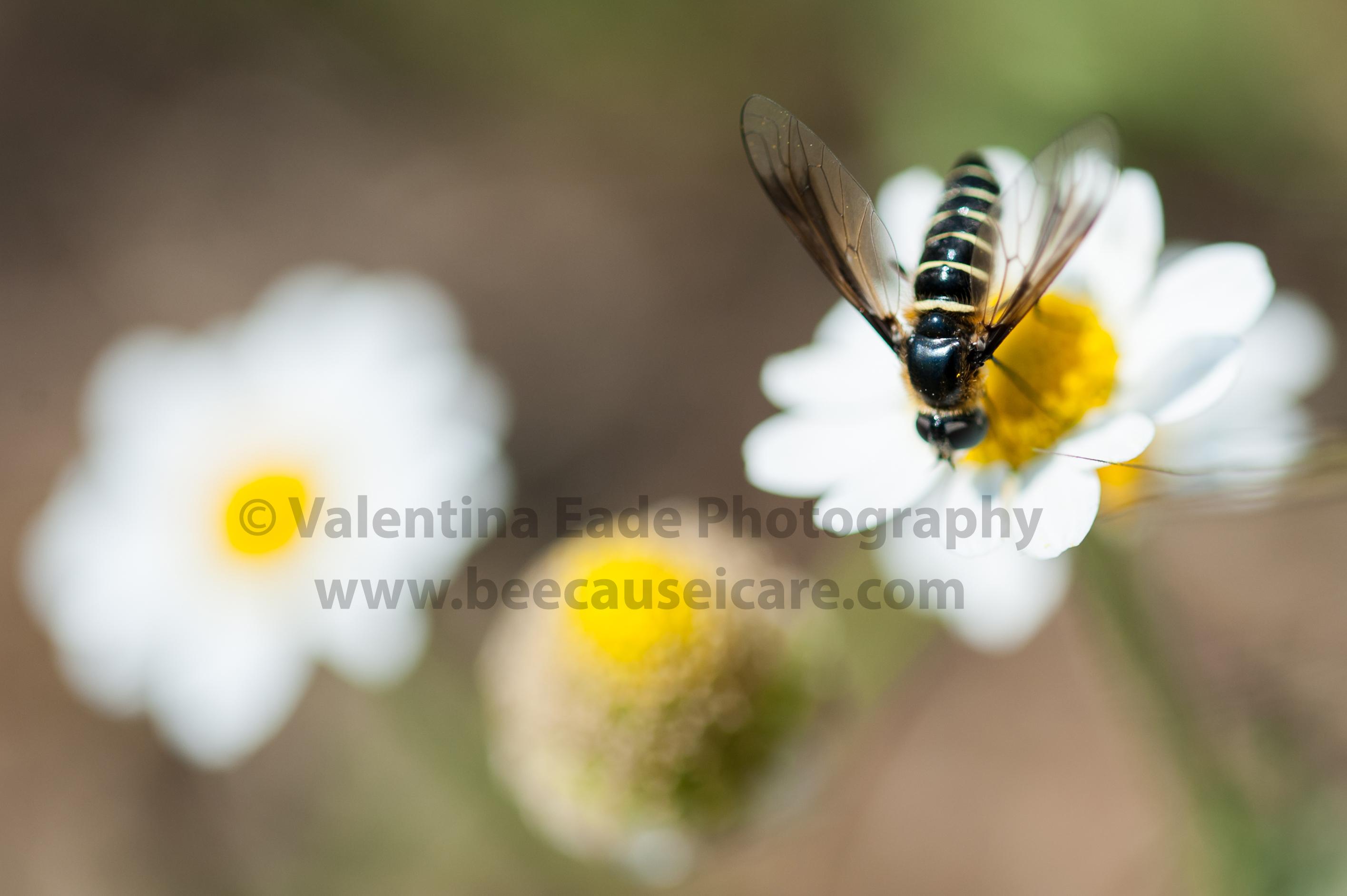 pollinatingfly_007