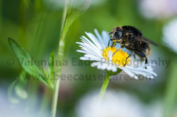 pollinatingfly_011