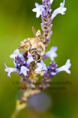honeybee_033