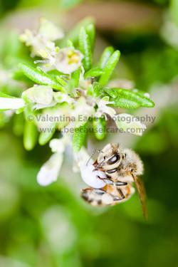 honeybee_038