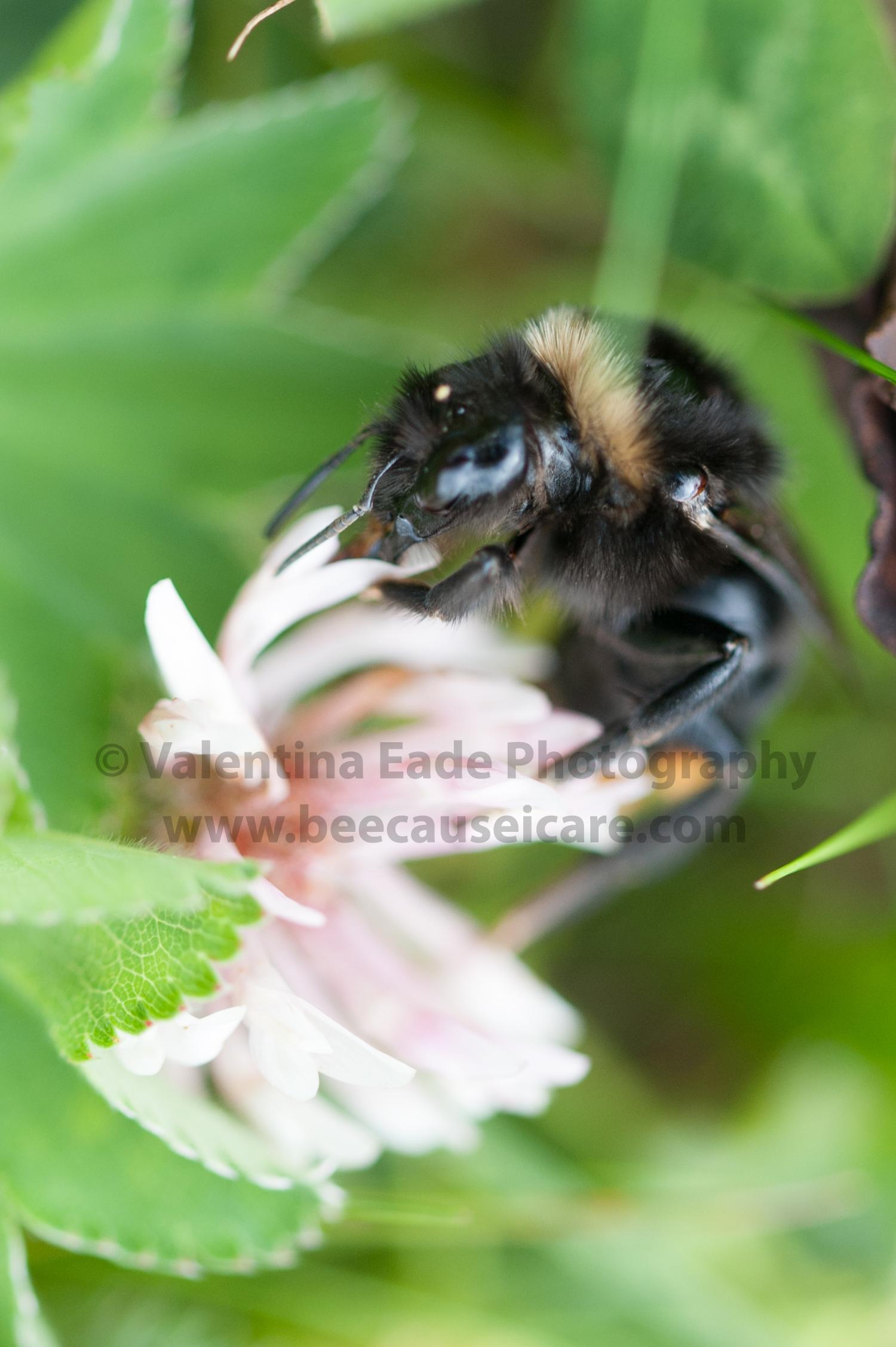 bumblebee_013