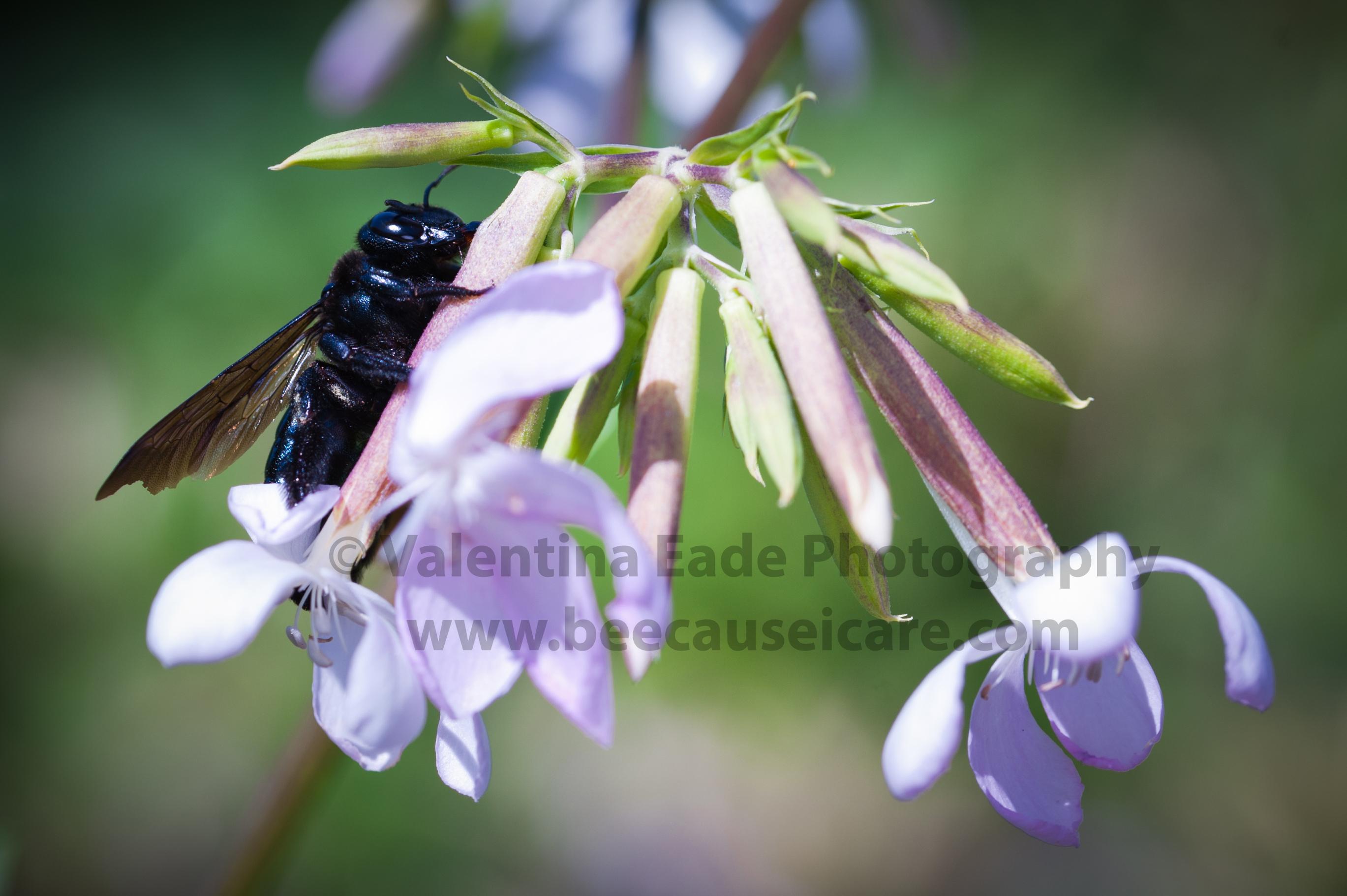 bumblebee_014