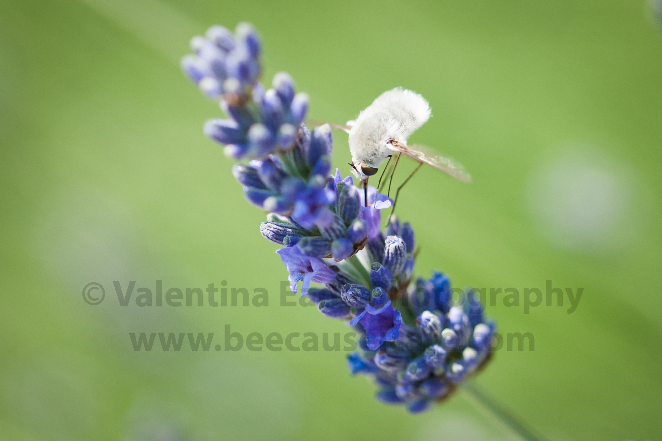 beefly_004