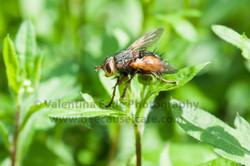 pollinatingfly_012