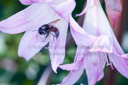 bumblebee_015