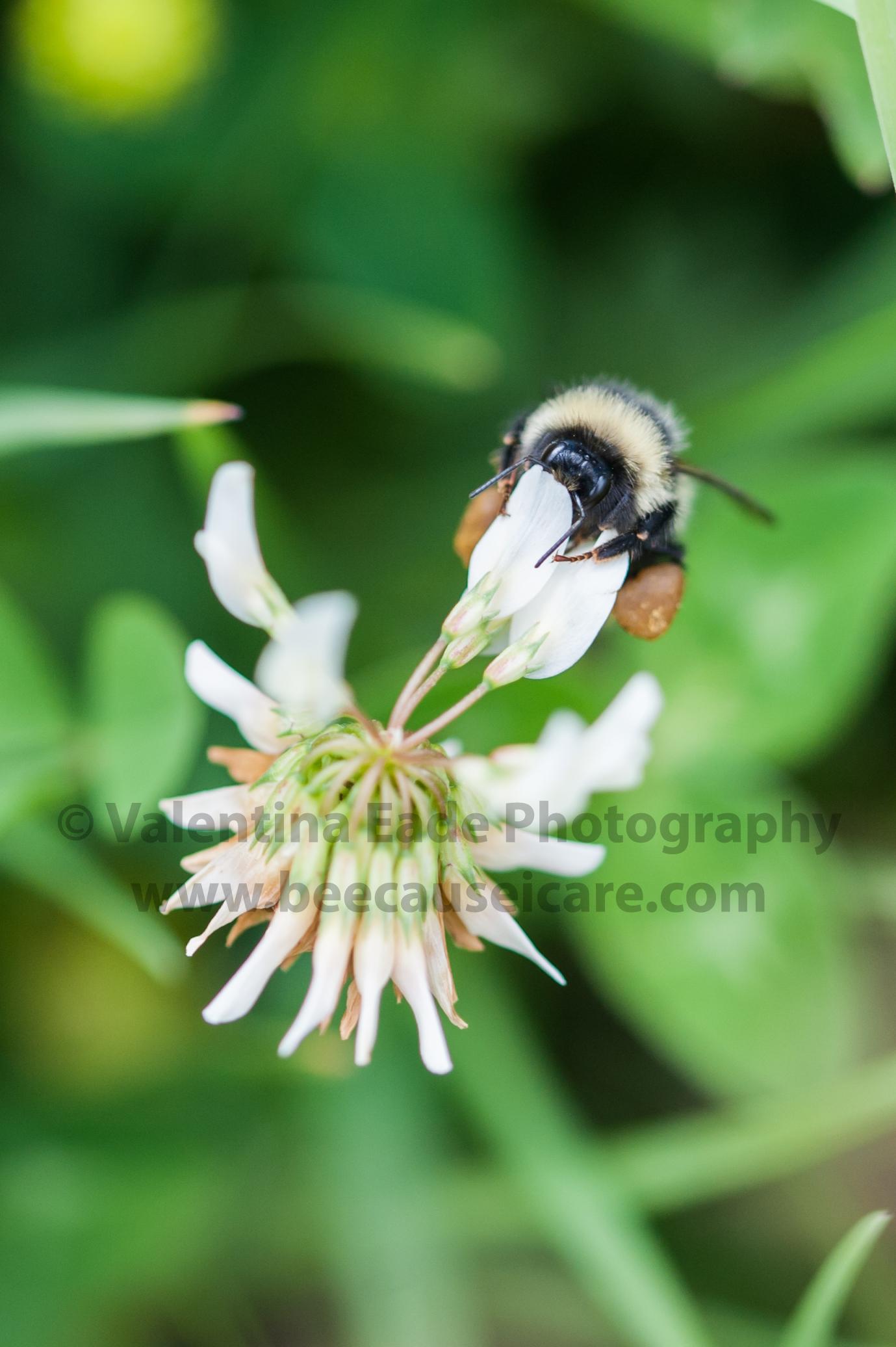 bumblebee_002