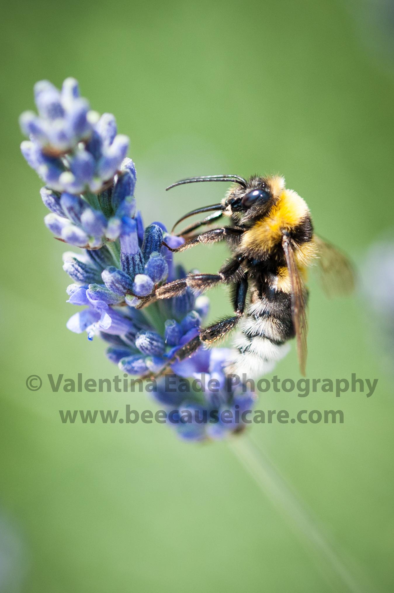 bumblebee_018