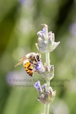 honeybee_026