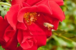 honeybee_011