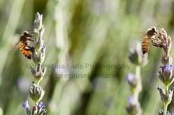 honeybee_006
