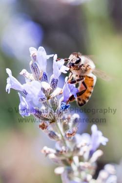 honeybee_003