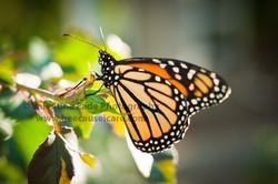 butterfly_013