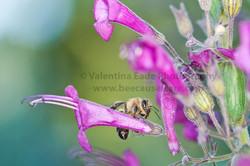 honeybee_043