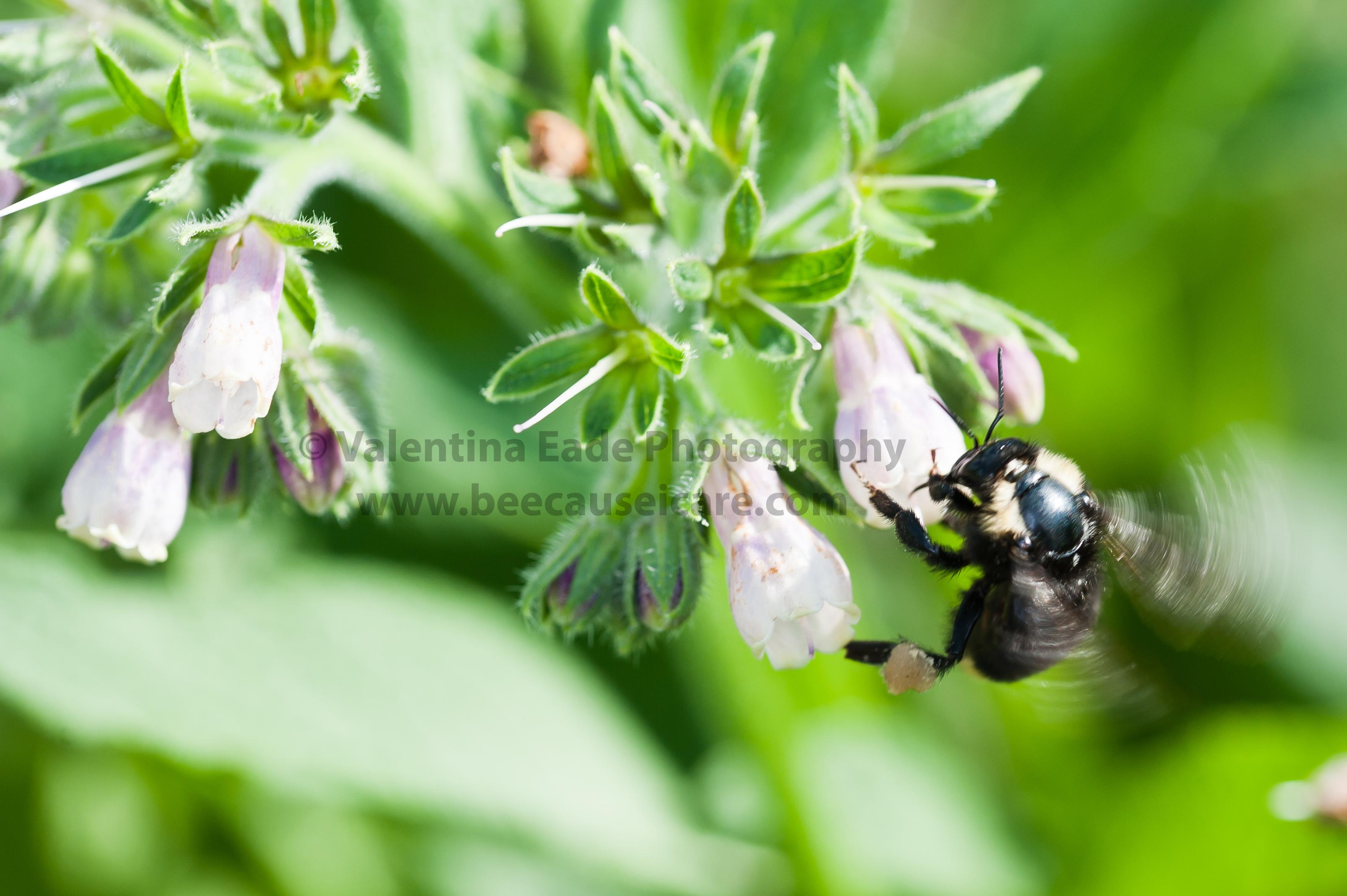 bumblebee_016