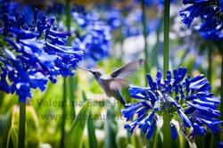 hummingbird_020