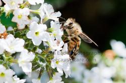 honeybee_012