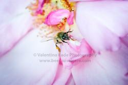 honeybee_036