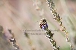 honeybee_030