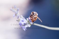 honeybee_019